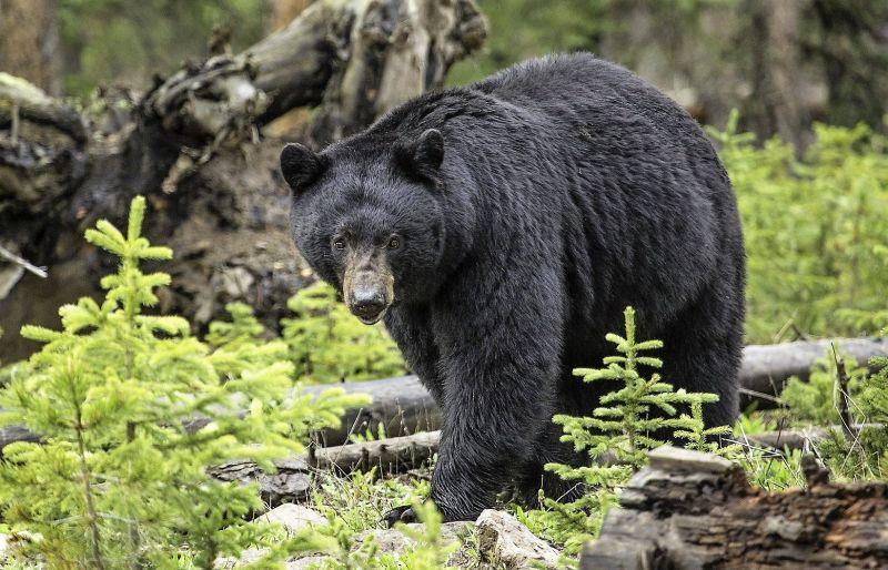 Oso negro Características, hábitat, alimentación, reproducción, amenazas