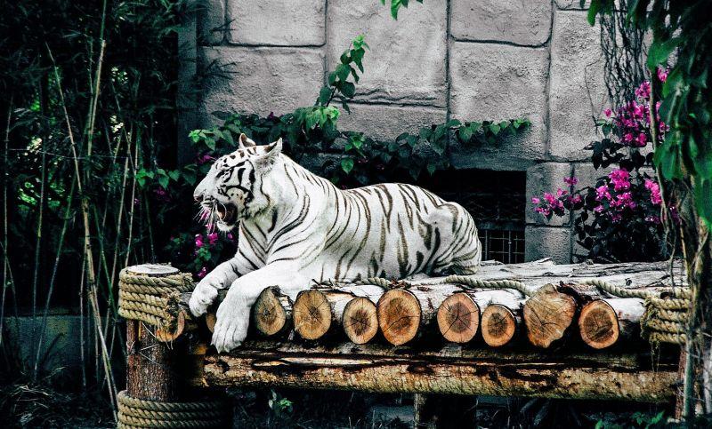 Tigre blanco Características, hábitat, alimentación, reproducción Animal