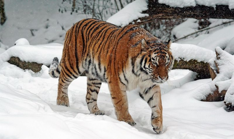 Tigre siberiano Características, alimentación, reproducción, amenazas