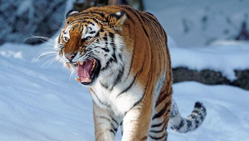 Tigre Siberiano Características Alimentación Reproducción Amenazas