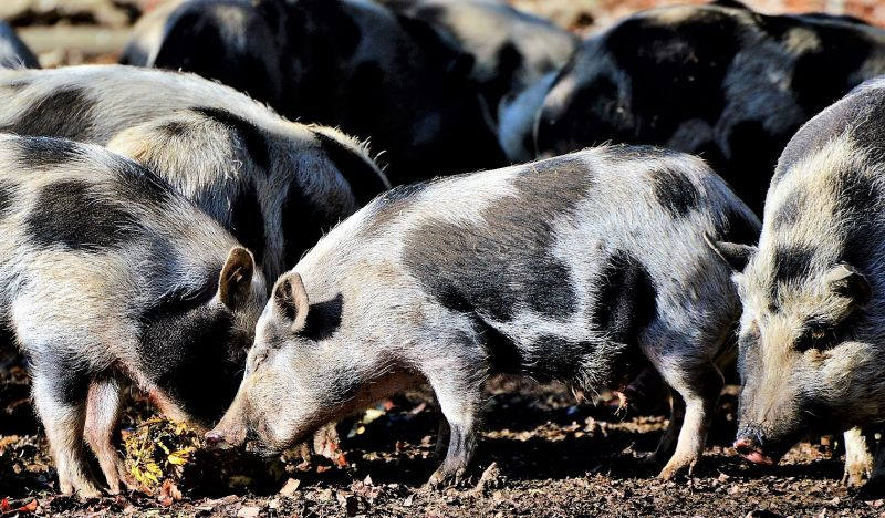 Animales omnívoros Qué son, características, tipos, alimentación, ejemplos