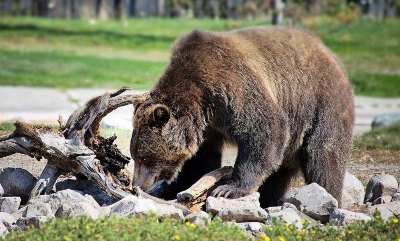 El oso grizzly