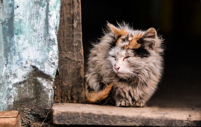 Inmunodeficiencia felina