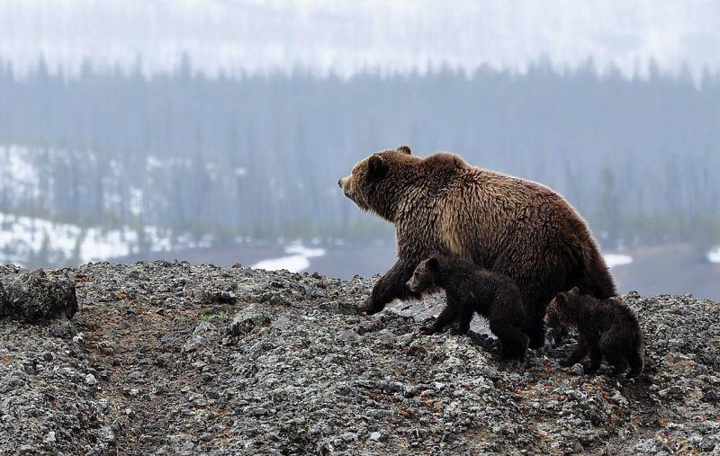 Oso grizzly Qué es, características, alimentación, hábitat Información