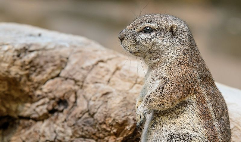 Perrito de la pradera Características, alimentación, hábitat, reproducción