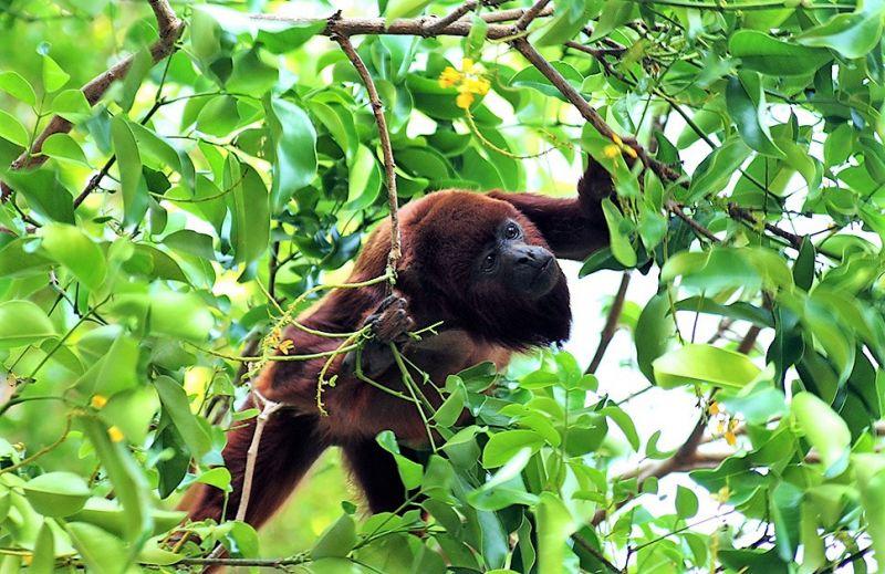 Araguato Características, alimentación, reproducción, hábitat Mono