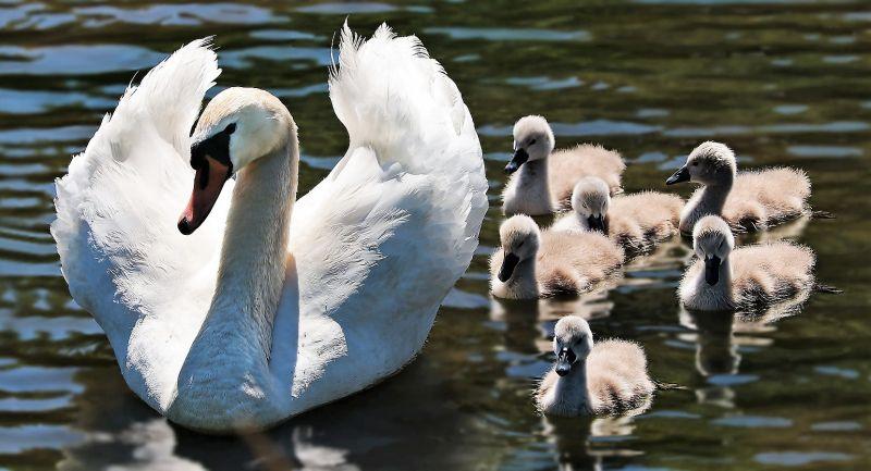 Cisne Características, alimentación, hábitat, reproducción, tipos Ave