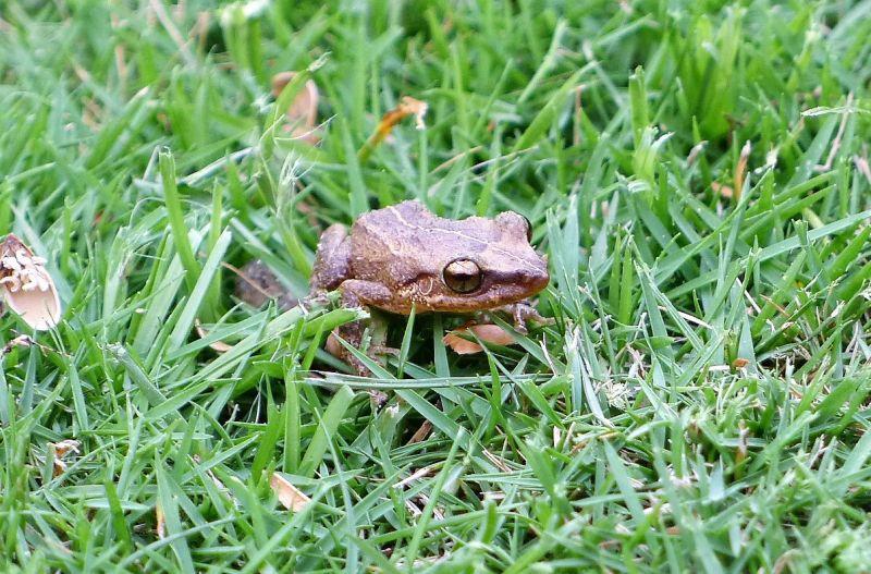 Coquí Características, hábitat, reproducción, variedades, alimentación