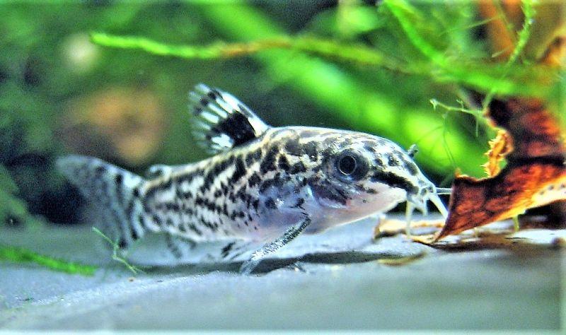 Corydoras Características, hábitat, reproducción, clasificación Peces