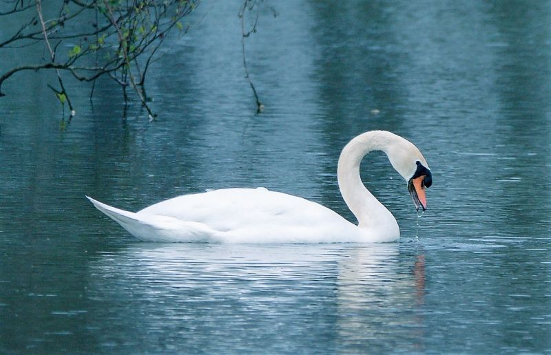 El cisne