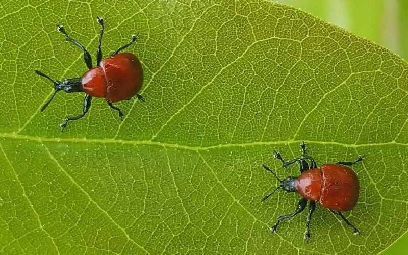 Gorgojo Características, alimentación, reproducción, variedades Insecto