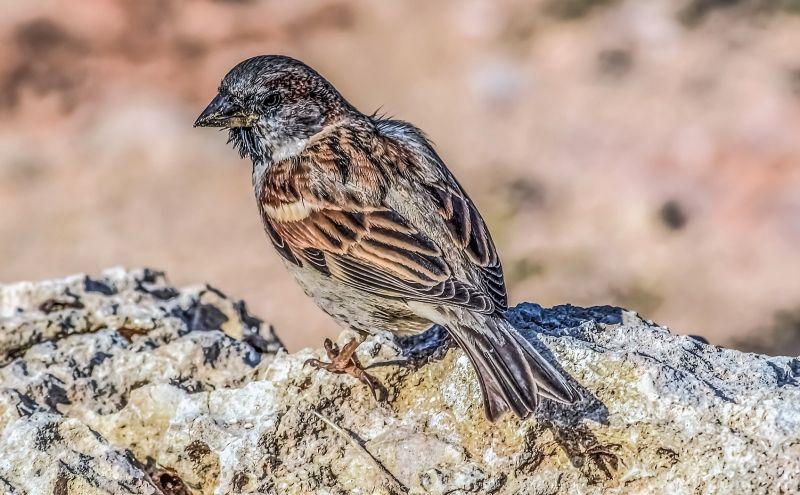 Gorrión Características, reproducción, alimentación, comportamiento