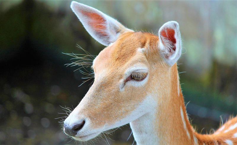 Venado Características, alimentación, reproducción, hábitat Animales