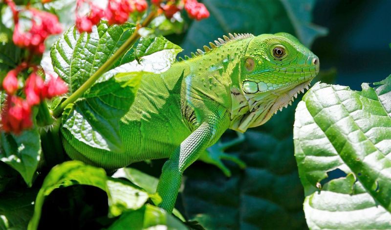 Iguana verde Características, hábitat, reproducción, alimentación, visión