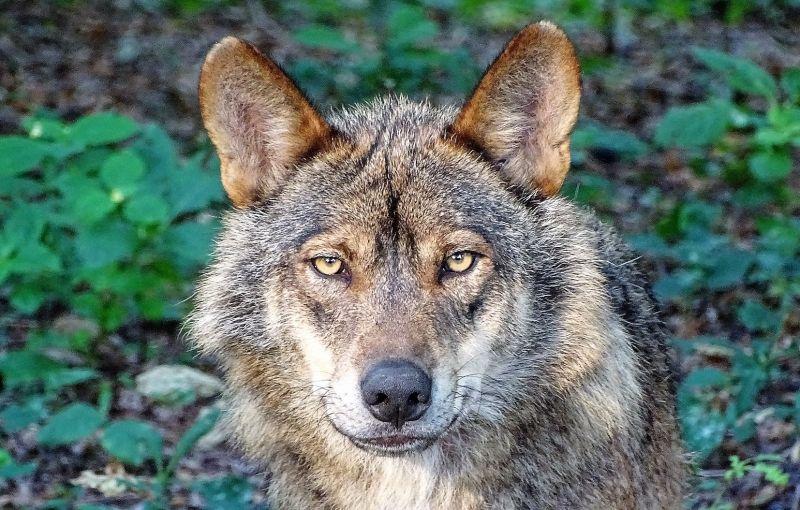 Lobo Ibérico Características Alimentación Hábitat Reproducción