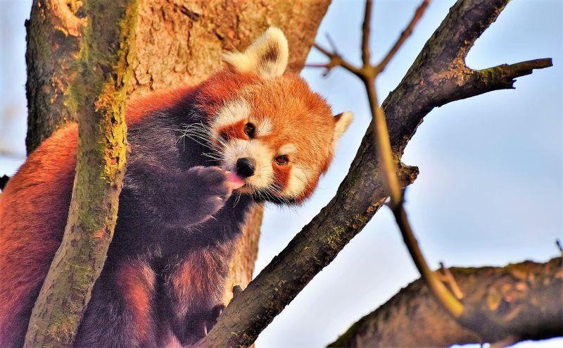 Panda rojo Características, hábitat, reproducción, curiosidades Animal