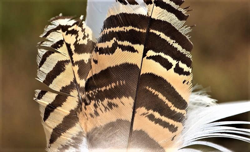 Avutarda Características, hábitat, reproducción, alimentación Ave