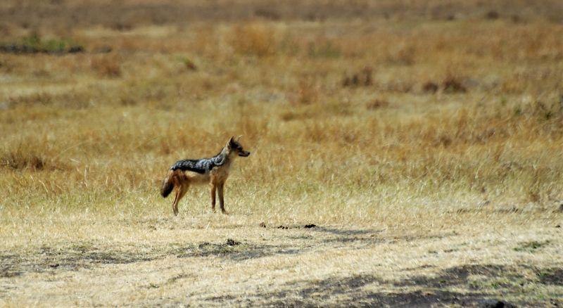 Chacal Características, hábitat, alimentación, reproducción Animal
