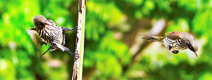 Cigua palmera Características, hábitat, alimentación, reproducción Ave