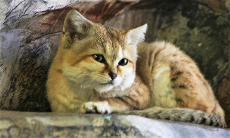 El gato de las arenas