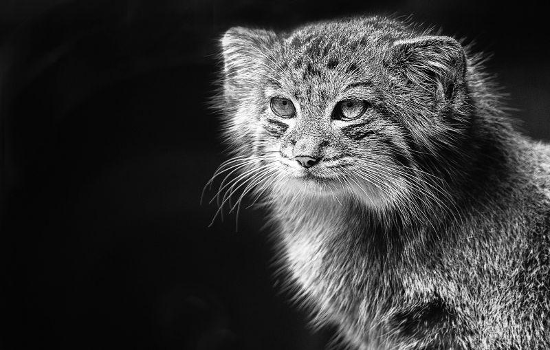 El gato de pallas