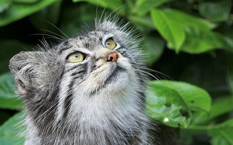 Gato de pallas Características, hábitat, alimentación, reproducción