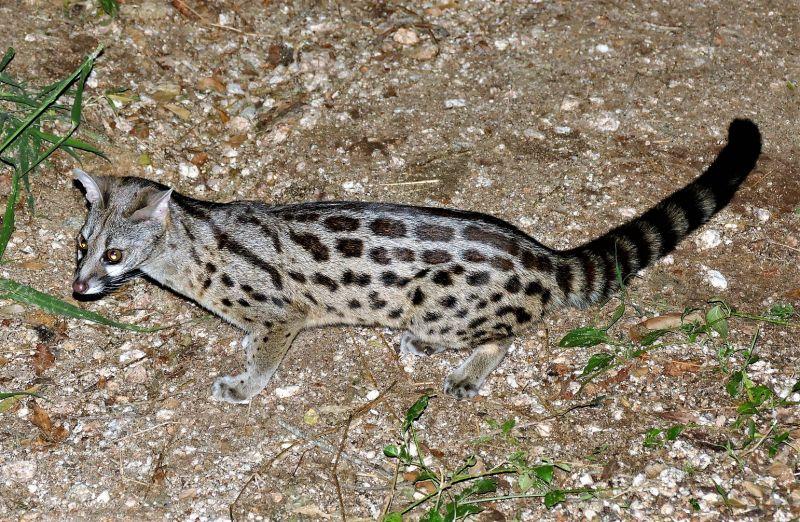 Gineta Qué es, características, hábitat, alimentación, reproducción Animal