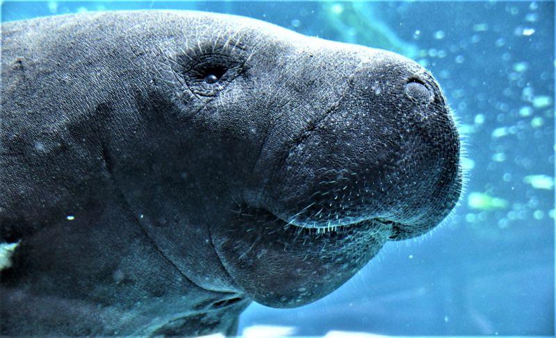 Manatí Características, hábitat, alimentación, reproducción Animal