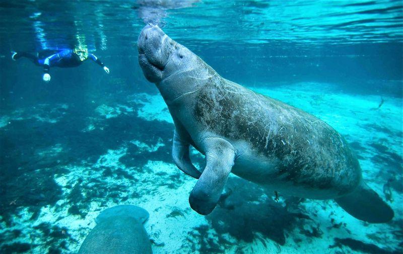 Manatí | Características, hábitat, alimentación, reproducción | Animal