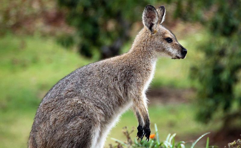 Marsupiales Características, hábitat, alimentación, reproducción, clasificación