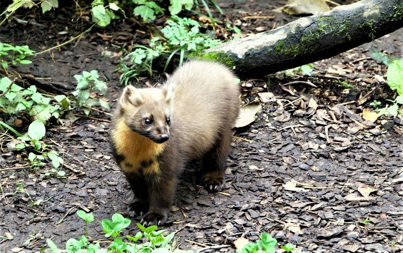 Marta Características, hábitat, alimentación, reproducción Animal