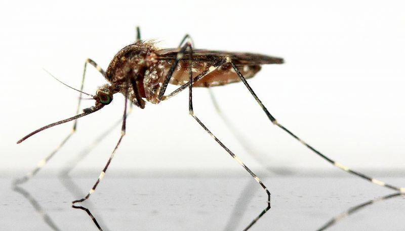 Mosquito Características, hábitat, alimentación, clasificación Insecto