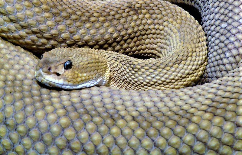 Víbora Características, alimentación, reproducción Serpiente, información