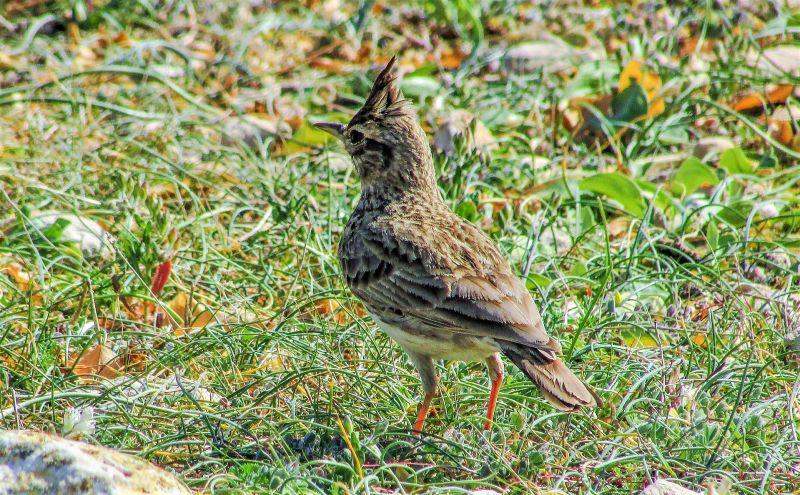 Alondra Características, origen, hábitat, alimentación, reproducción Ave