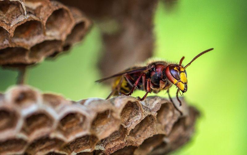 Avispón Características, alimentación, reproducción, hábitat, distribución
