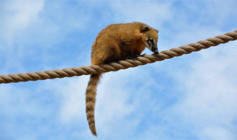 Coatí Características, alimentación, reproducción, hábitat Animal