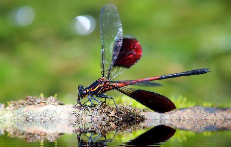 Odonata Características, reproducción, importancia, rasgos Insectos