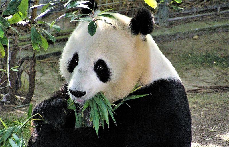 Panda gigante Características, alimentación, reproducción, hábitat