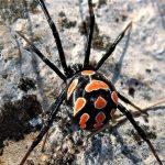 Araña capulina