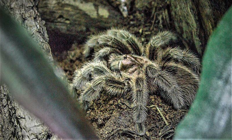 Araña pollito Características, alimentación, reproducción, peligro, diversidad