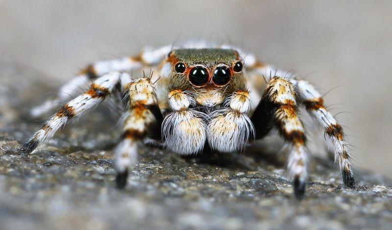 Araña saltarina Características, reproducción, peligro, comportamiento
