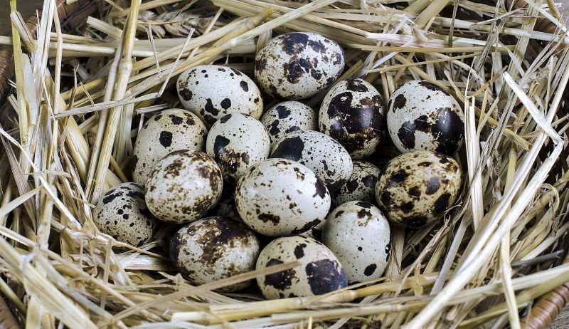 Codorniz Características, hábitat, alimentación, reproducción, amenazas