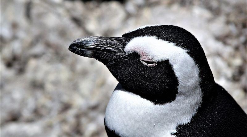 El pingüino africano