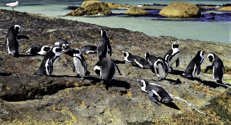 Pingüino africano Características, hábitat, alimentación, reproducción