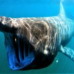 Tiburón peregrino