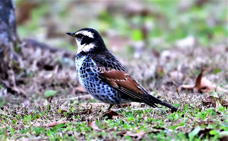 Tordo Características, hábitat, alimentación, reproducción, comportamiento