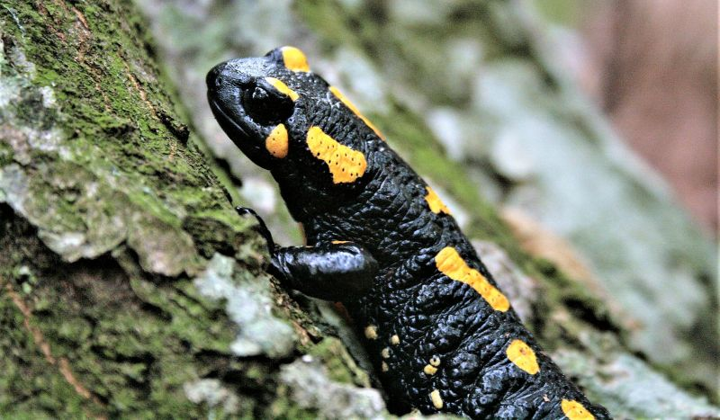 Tritones Características, hábitat, alimentación, reproducción, comportamiento