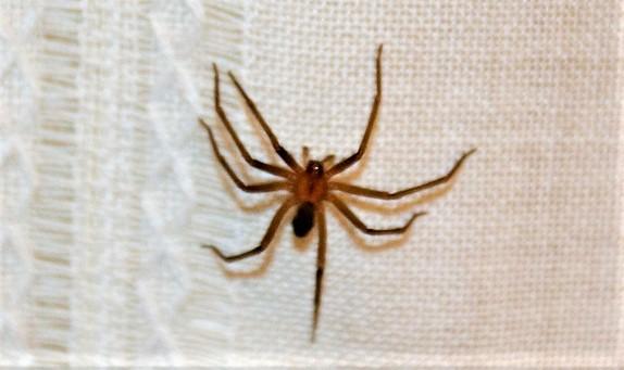 Araña de rincón | Características, alimentación, reproducción, dónde ...