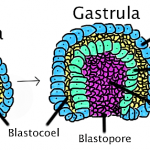 Blastoporo